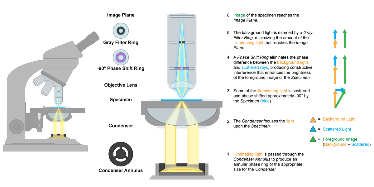 Phase Contrast Microscope Mechanics.