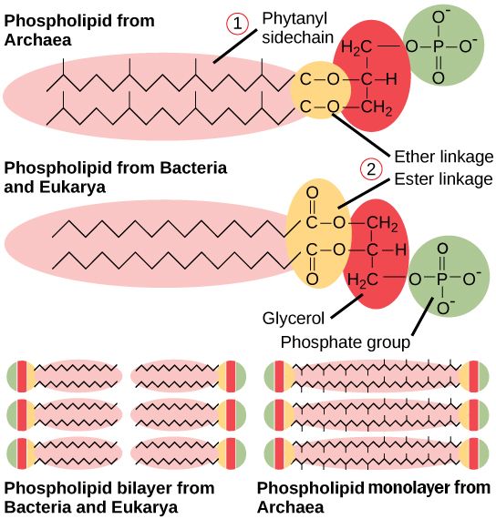 Comparison of Plasma Membrane Lipid Between Bacteria and Archaea. OpenStax, Structure of Prokaryotes.