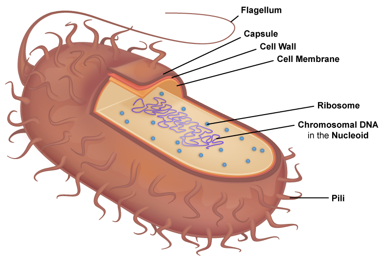 Typical Prokaryotic Cell.
