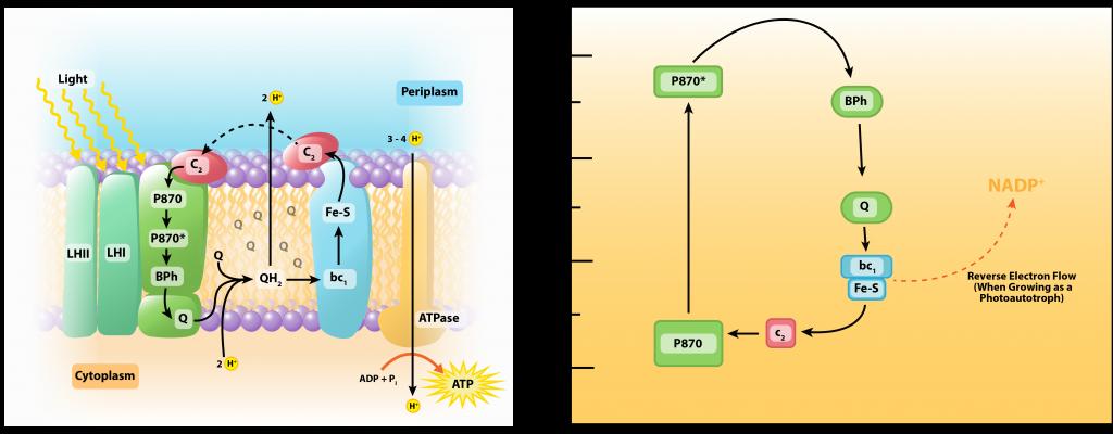 Photophosphorylation in Purple Bacteria.