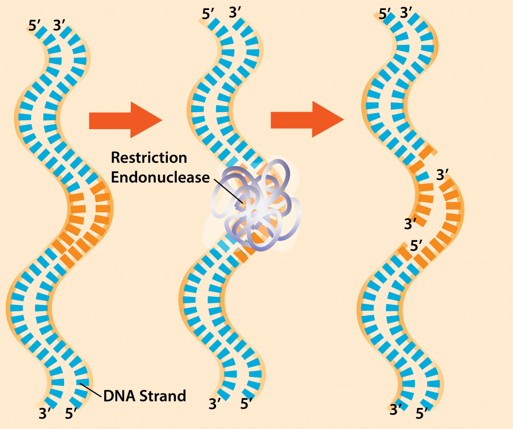 Restriction Endonucleases.