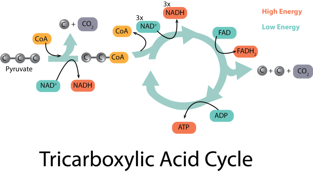 TCA at the End of Glycolysis.