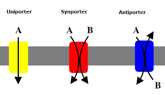 Uniport Synport Antiport