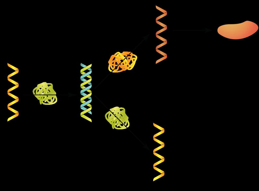 ssDNA.
