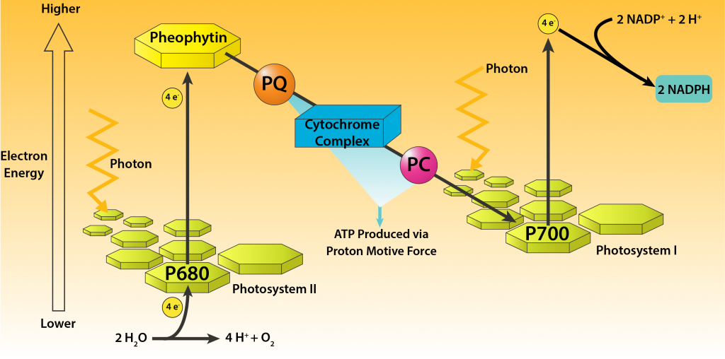 Overview of Oxygenic Photosynthesis in Cyanobacteria.