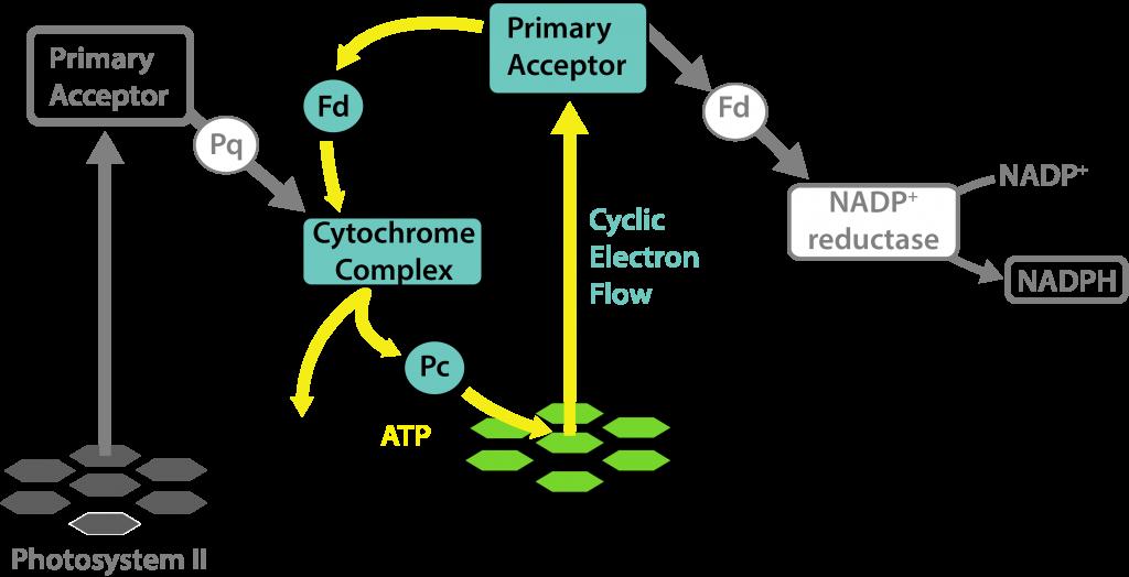 Oxygen-free Phototrophy in Cyanobacterial Heterocysts.