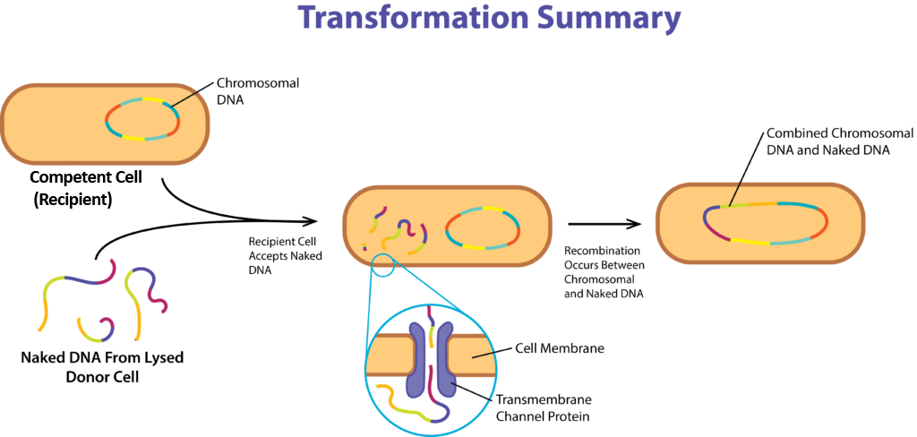 Gene Acquisition via Transformation