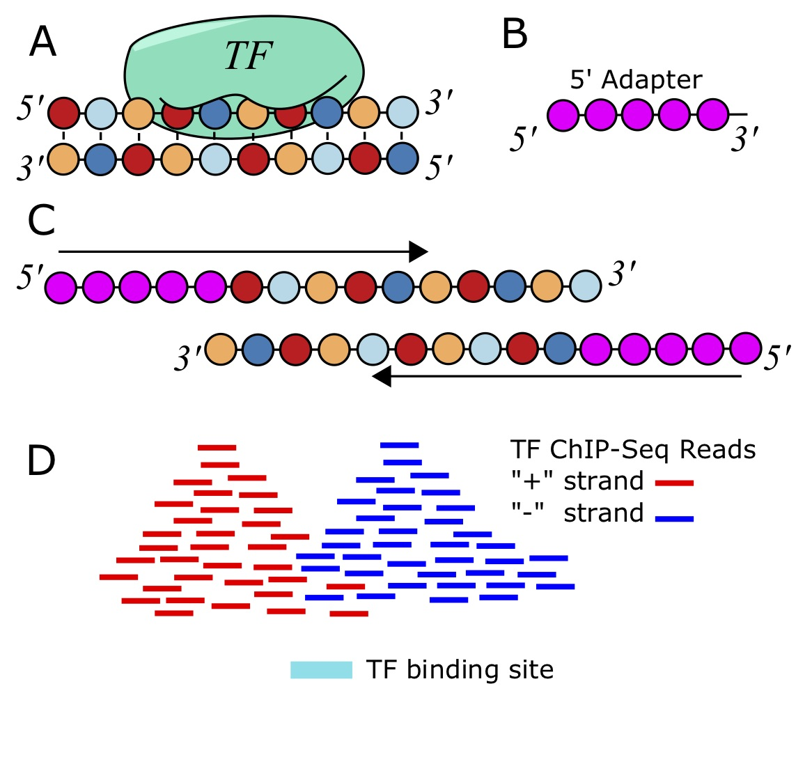 ChIP-seq reads and their process to the TF binding site.