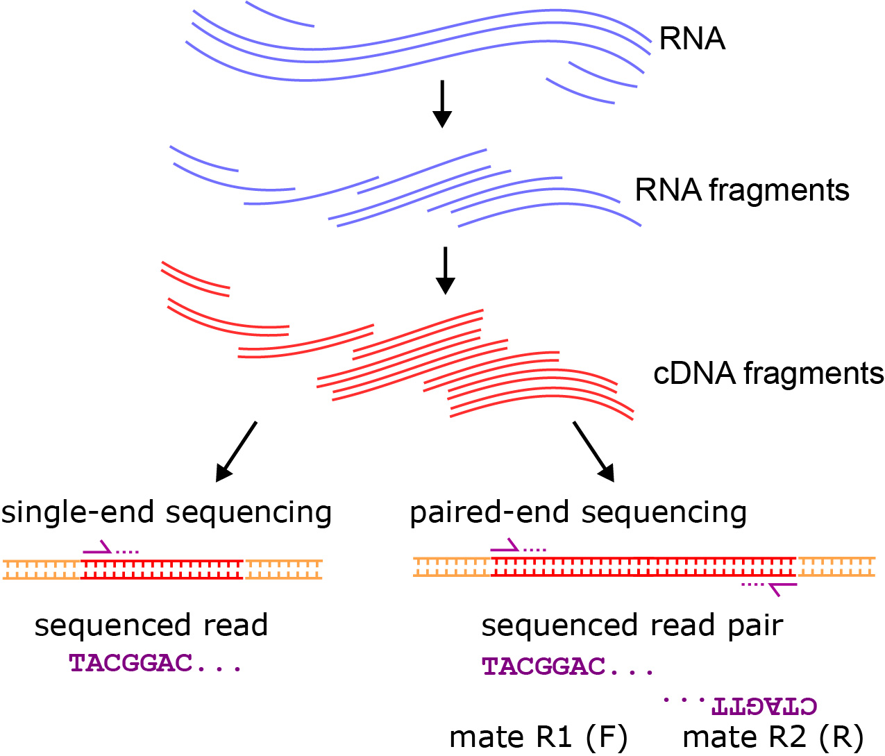 Single-end vs paired-end RNA sequencing