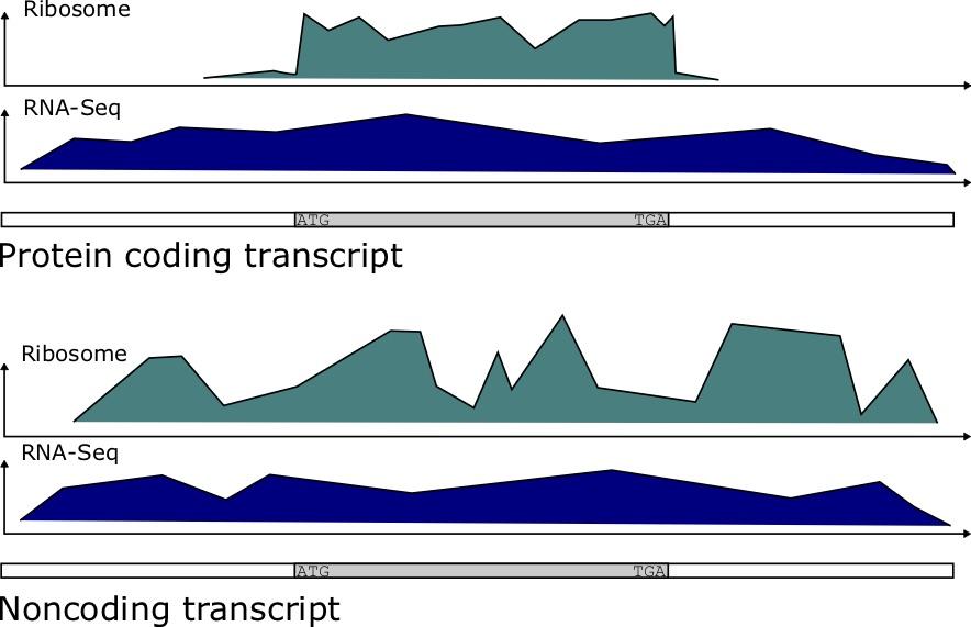 Protein coding transcript vs a noncoding transcript