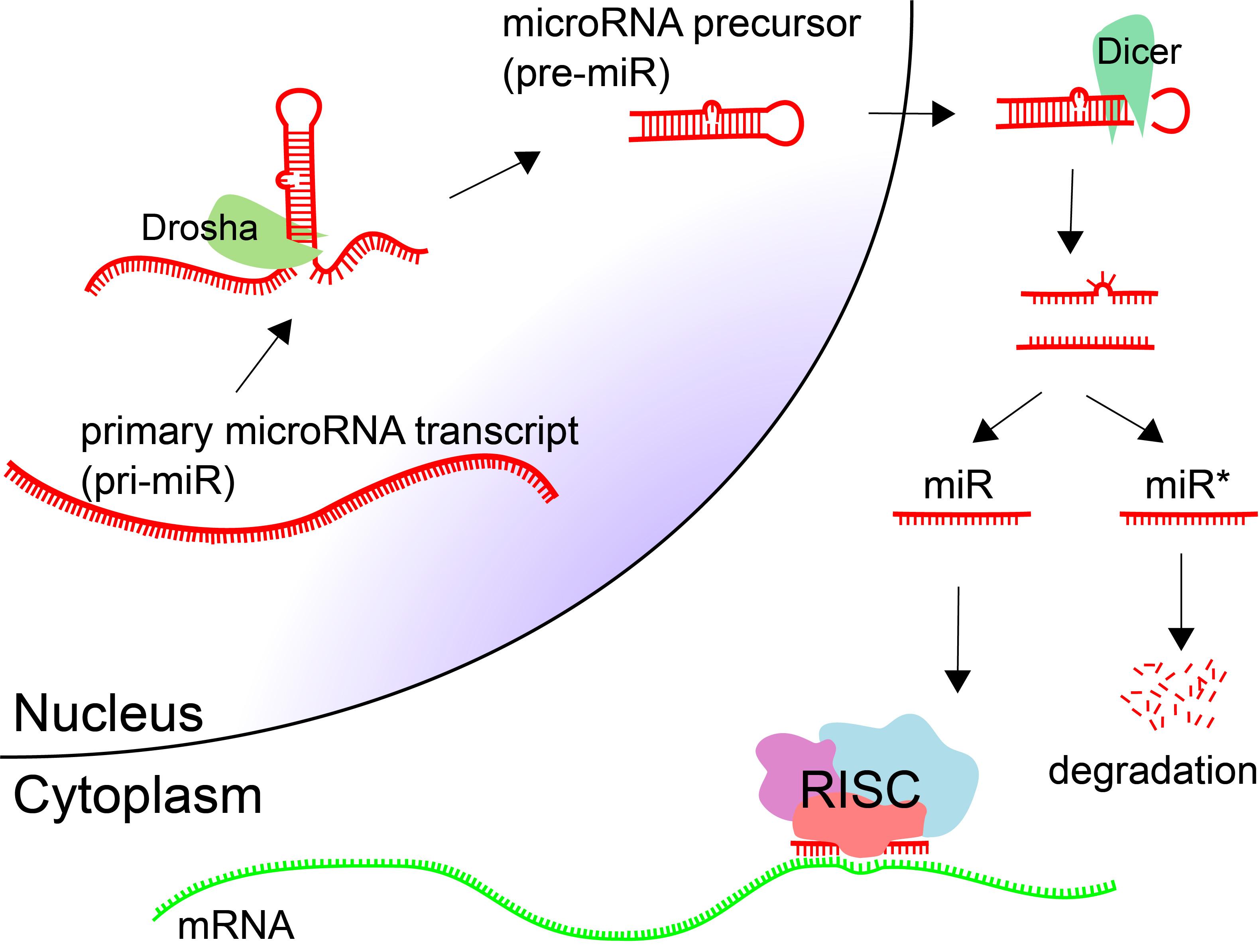MicroRNA biogenesis pathway