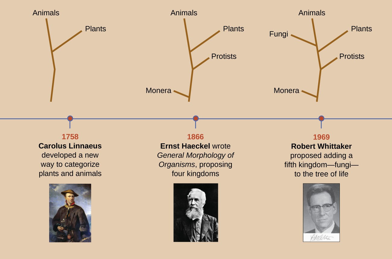 This timeline shows how the shape of the tree of life has changed over the centuries. Even today, the taxonomy of living organisms is continually being reevaluated and refined with advances in technology.