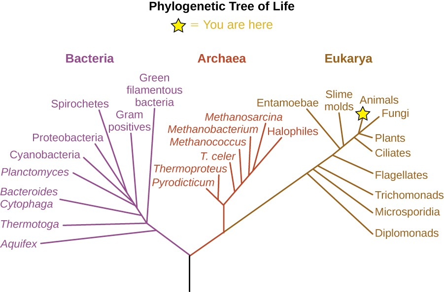 Woese and Fox's phylogenetic tree contains three domains: Bacteria, Archaea, and Eukarya. Domains Archaea and Bacteria contain all prokaryotic organisms, and Eukarya contains all eukaryotic organisms.