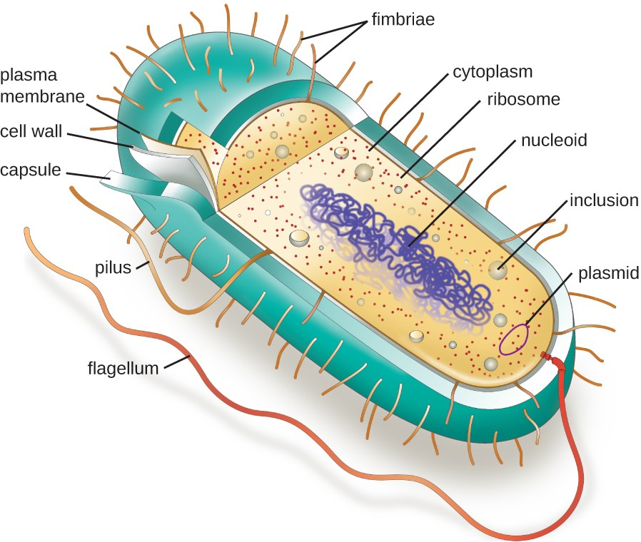 A typical prokaryotic cell contains a cell membrane, chromosomal DNA that is concentrated in a nucleoid, ribosomes, and a cell wall. Some prokaryotic cells may also possess flagella, pili, fimbriae, and capsules.