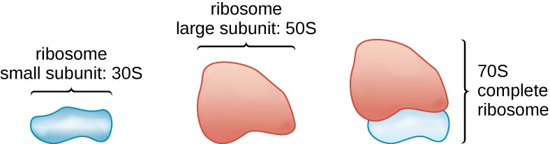 Prokaryotic ribosomes (70S) are composed of two subunits: the 30S (small subunit) and the 50S (large subunit), each of which are composed of protein and rRNA components.