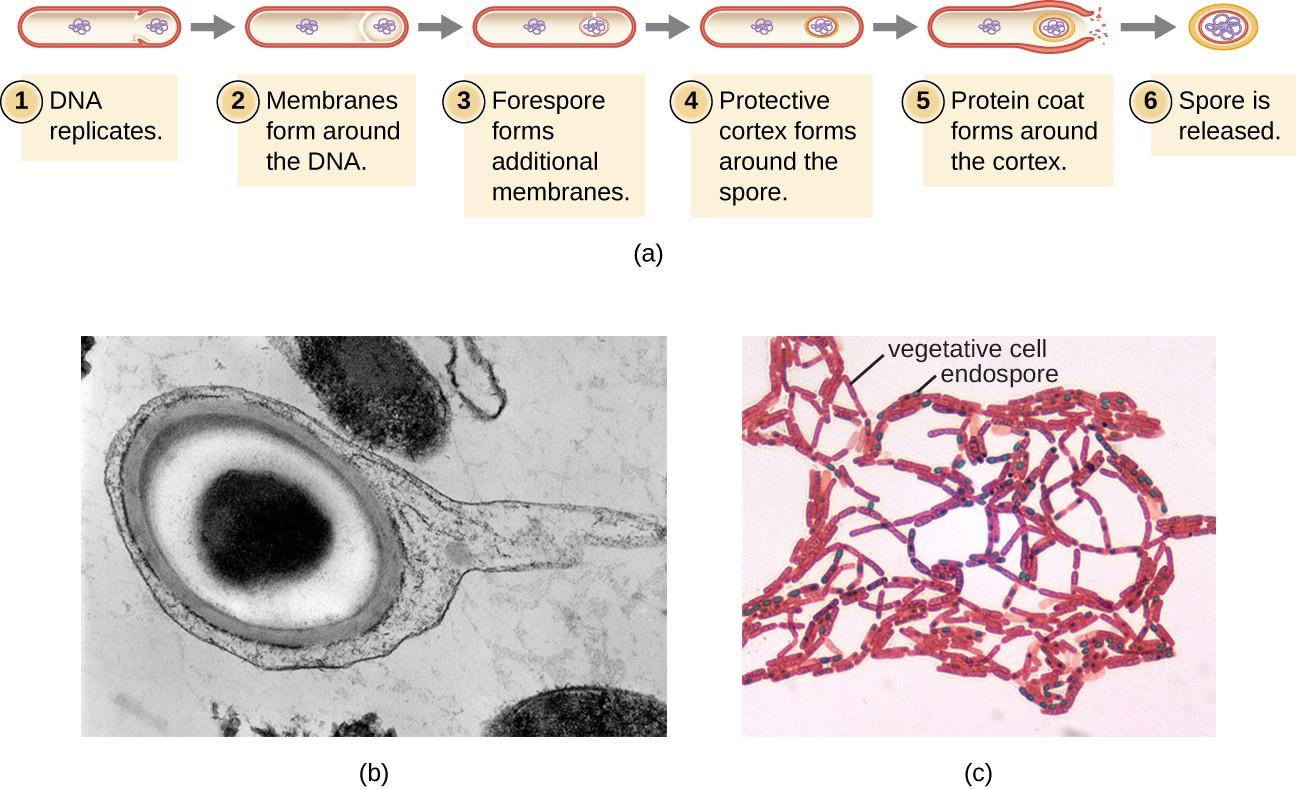 (a) Sporulation begins following asymmetric cell division. The forespore becomes surrounded by a double layer of membrane, a cortex, and a protein spore coat, before being released as a mature endospore upon disintegration of the mother cell. (b) An electron micrograph of a Carboxydothermus hydrogenoformans endospore. (c) These Bacillus spp. cells are undergoing sporulation. The endospores have been visualized using Malachite Green spore stain.