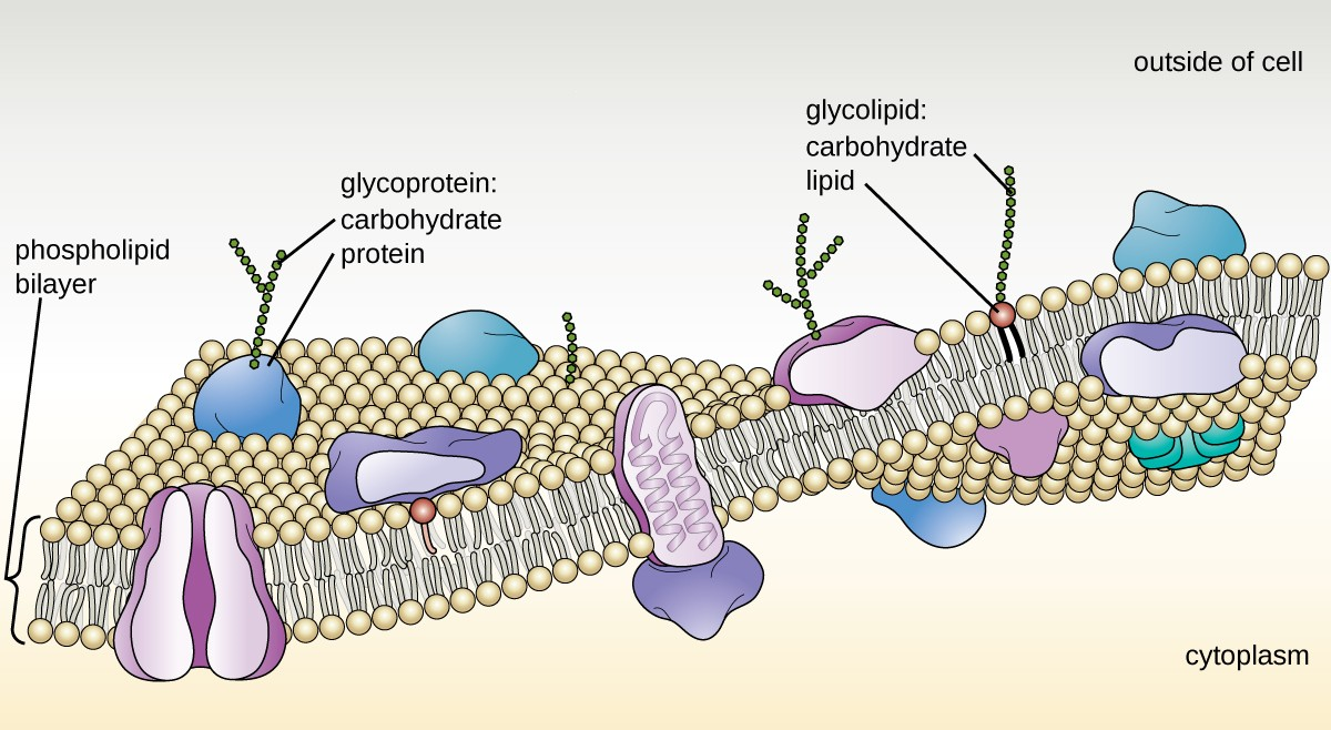 The bacterial plasma membrane is a phospholipid bilayer with a variety of embedded proteins that perform various functions for the cell. Note the presence of glycoproteins and glycolipids, whose carbohydrate components extend out from the surface of the cell. The abundance and arrangement of these proteins and lipids can vary greatly between species.