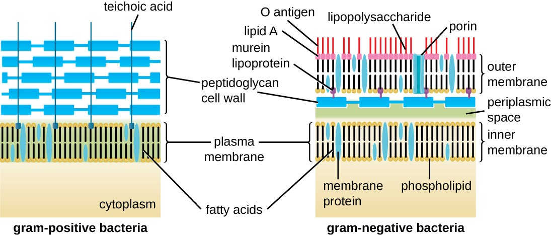 Bacteria contain two common cell wall structural types. Gram-positive cell walls are structurally simple, containing a thick layer of peptidoglycan with embedded teichoic acid external to the plasma membrane. Gram- negative cell walls are structurally more complex, containing three layers: the inner membrane, a thin layer of peptidoglycan, and an outer membrane containing lipopolysaccharide.