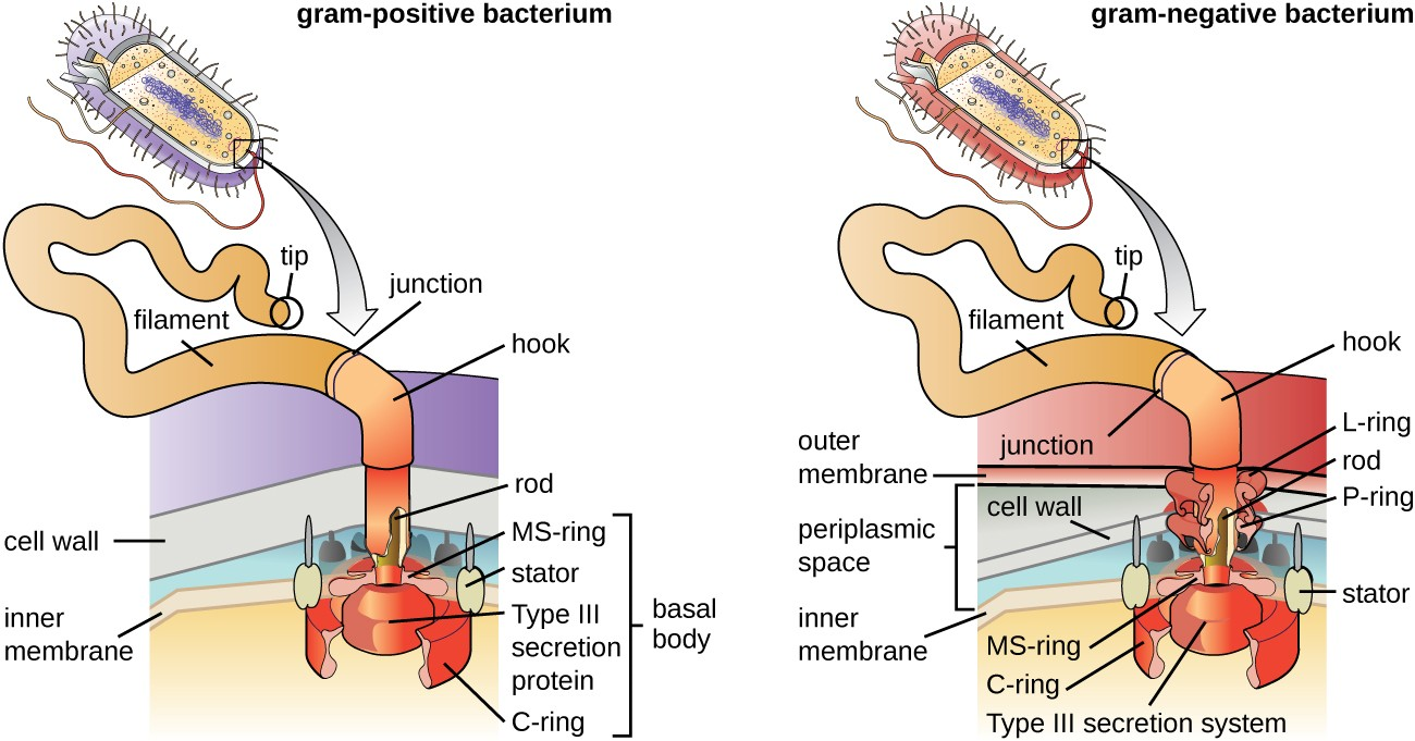 The basic structure of a bacterial flagellum consists of a basal body, hook, and filament. The basal body composition and arrangement differ between gram-positive and gram-negative bacteria.