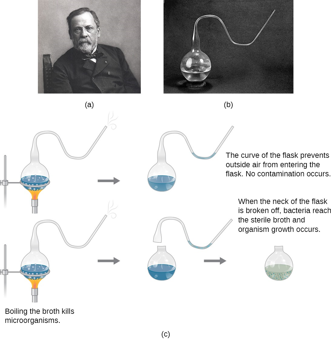 (a) French scientist Louis Pasteur, who definitively refuted the long-disputed theory of spontaneous generation. (b) The unique swan-neck feature of the flasks used in Pasteur 's experiment allowed air to enter the flask but prevented the entry of bacterial and fungal spores. (c) Pasteur's experiment consisted of two parts. In the first part, the broth in the flask was boiled to sterilize it. When this broth was cooled, it remained free of contamination. In the second part of the experiment, the flask was boiled and then the neck was broken off. The broth in this flask became contaminated.