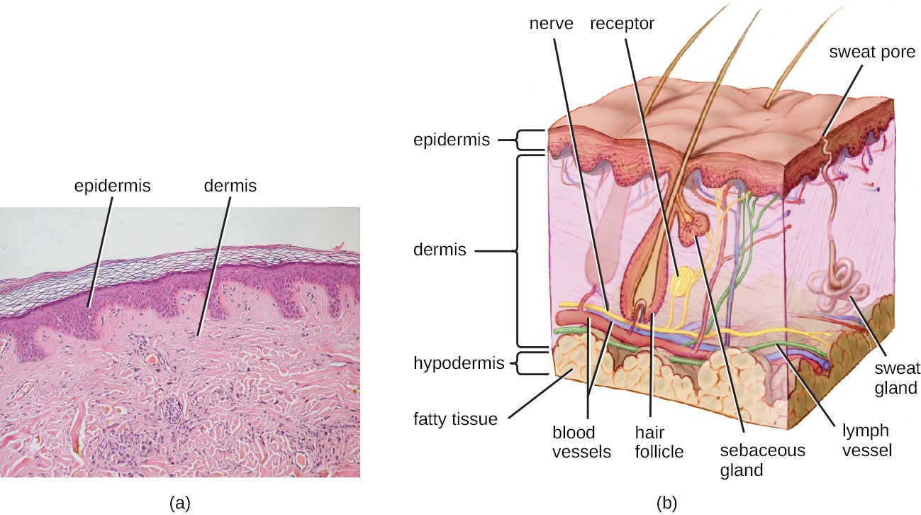 (a) A micrograph of a section through human skin shows the epidermis and dermis. (b) The major layers of human skin are the epidermis, dermis, and hypodermis.