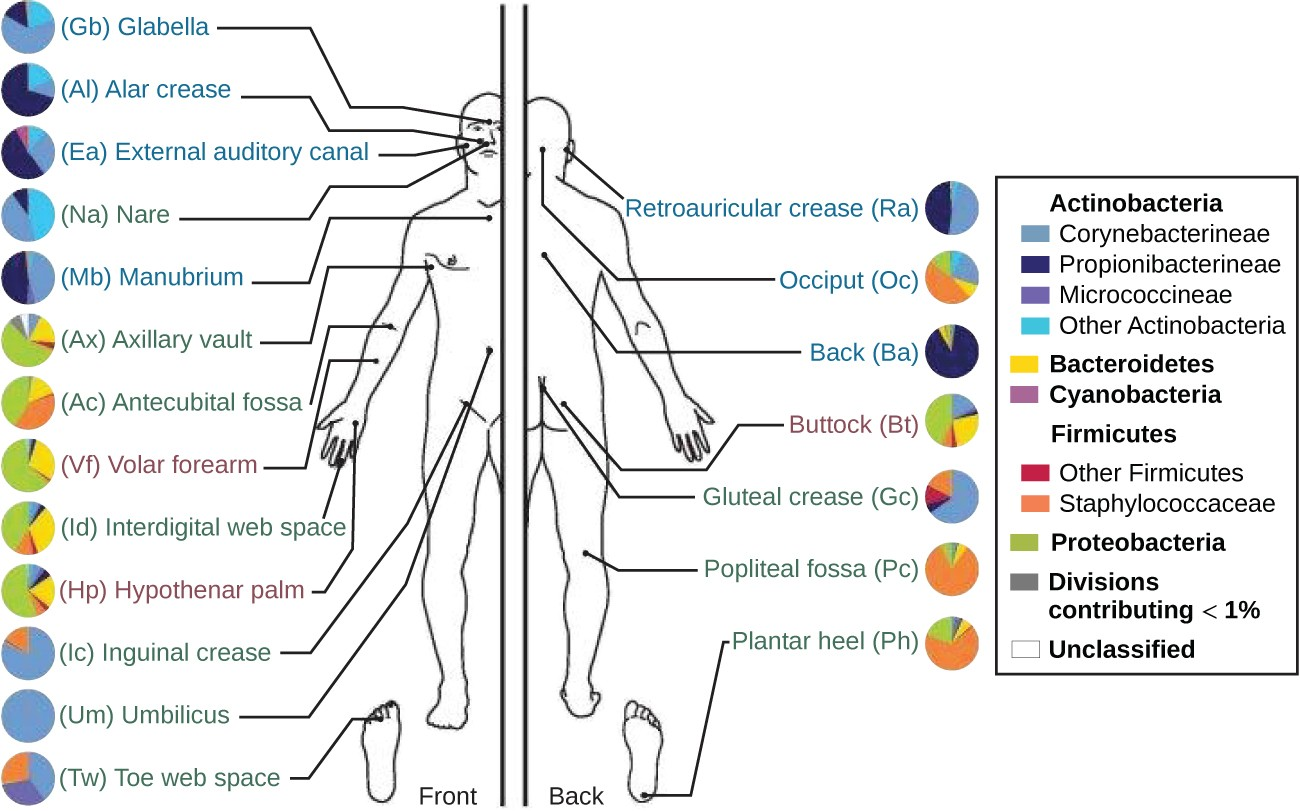 The normal microbiota varies on different regions of the skin, especially in dry versus moist areas. The figure shows the major organisms commonly found in different locations of a healthy individual's skin and external mucosa. Note that there is significant variation among individuals.