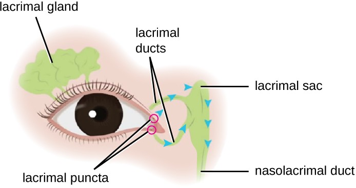 The lacrimal apparatus includes the structures of the eye associated with tear production and drainage.