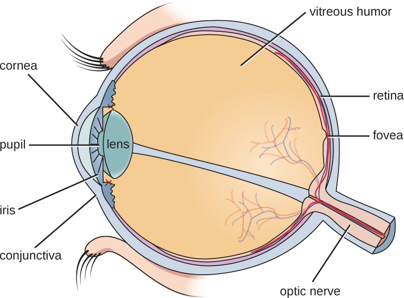 Some microbes live on the conjunctiva of the human eye, but the vitreous humor is sterile.
