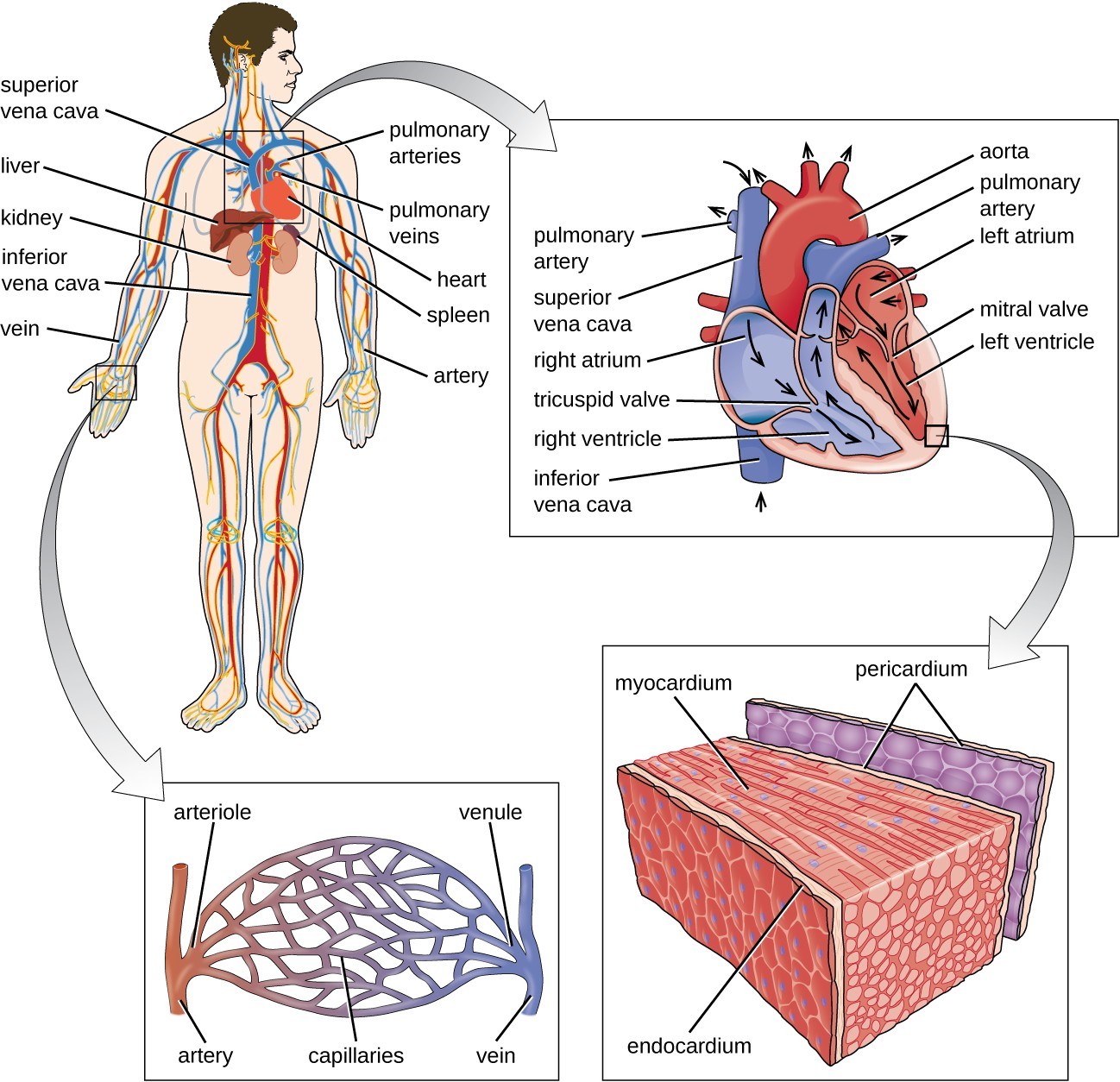The major components of the human circulatory system include the heart, arteries, veins, and capillaries. This network delivers blood to the body's organs and tissues.
