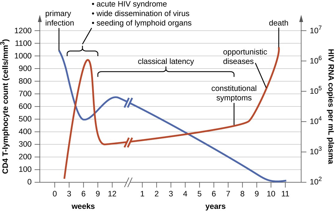 This graph shows the clinical progression of CD4 T cells (blue line), clinical symptoms, and viral RNA (red line) during an HIV infection.