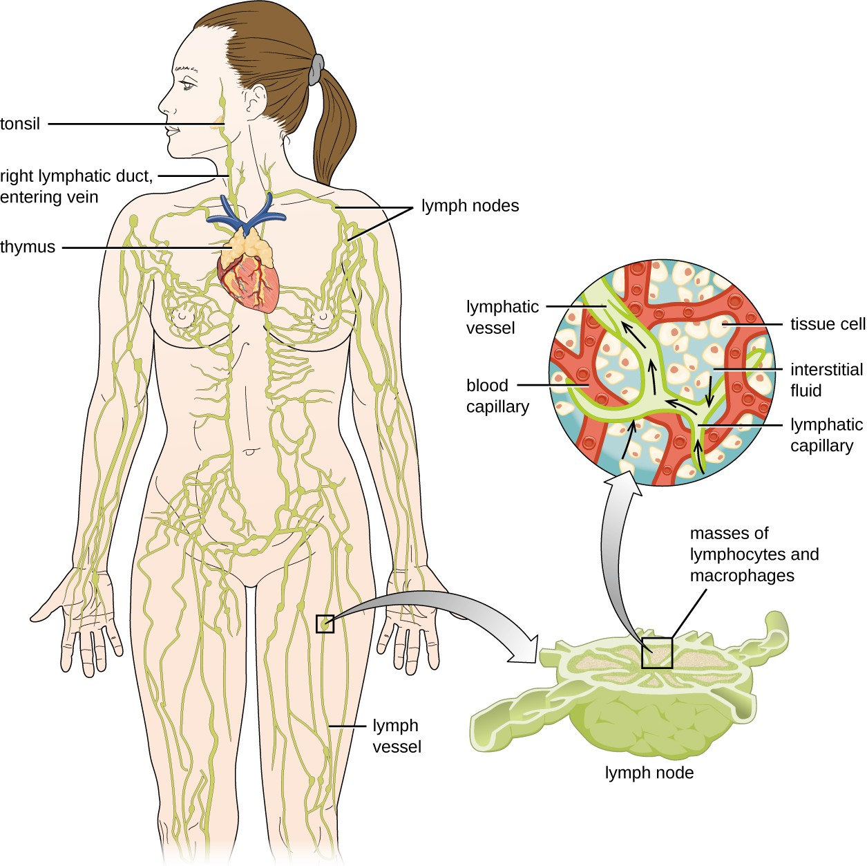 The essential components of the human lymphatic system drain fluid away from tissues.