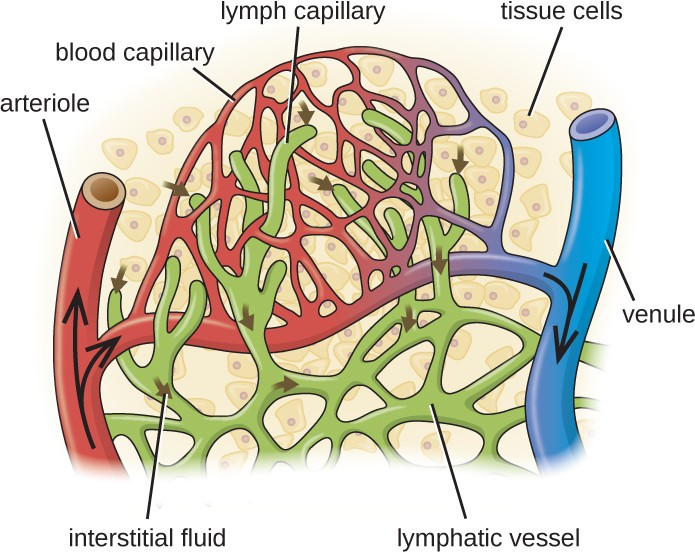 Blood enters the capillaries from an arteriole (red) and leaves through venules (blue). Interstitial fluids may drain into the lymph capillaries (green) and proceed to lymph nodes.