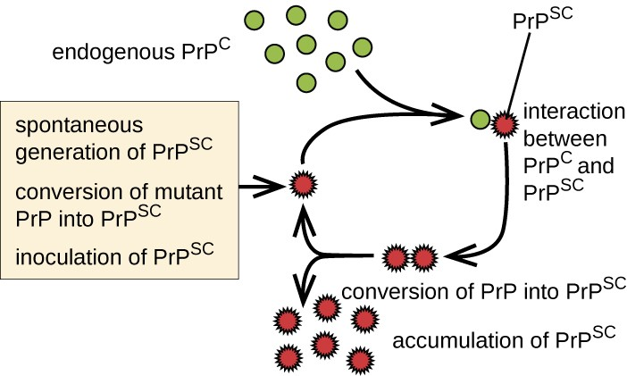 The replicative cycle of misfolded prion proteins.