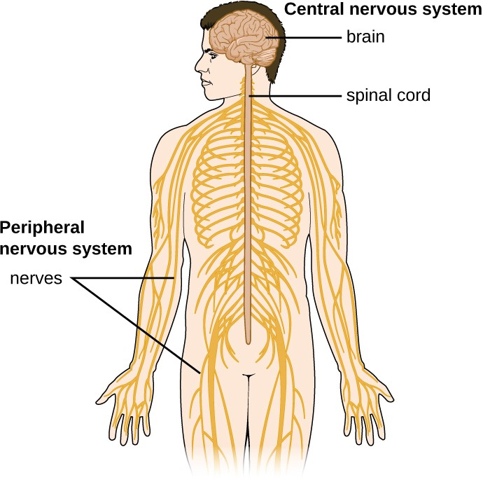 The essential components of the human nervous system are shown in this illustration. The central nervous system (CNS) consists of the brain and spinal cord. It connects to the peripheral nervous system (PNS), a network of nerves that extends throughout the body.