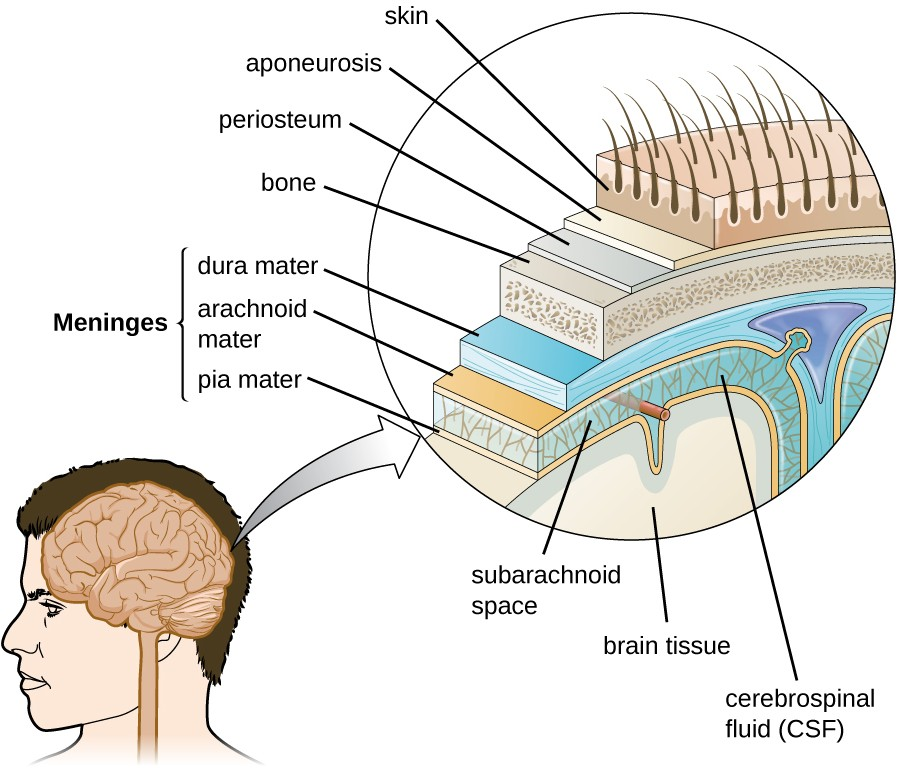 The layers of tissue surrounding the human brain include three meningeal membranes: the dura mater, arachnoid mater, and pia mater.