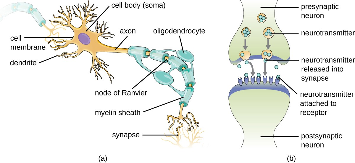 (a) A myelinated neuron is associated with oligodendrocytes. Oligodendrocytes are a type of glial cell that forms the myelin sheath in the CNS that insulates the axon so that electrochemical nerve impulses are transferred more efficiently. (b) A synapse consists of the axonal end of the presynaptic neuron (top) that releases neurotransmitters that cross the synaptic space (or cleft) and bind to receptors on dendrites of the postsynaptic neuron (bottom).