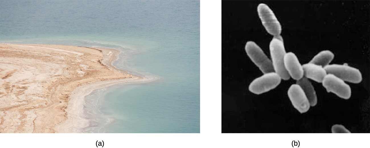 (a) Some prokaryotes, called halophiles, can thrive in extremely salty environments such as the Dead Sea, pictured here. (b) The archaeon Halobacterium salinarum, shown here in an electron micrograph, is a halophile that lives in the Dead Sea.