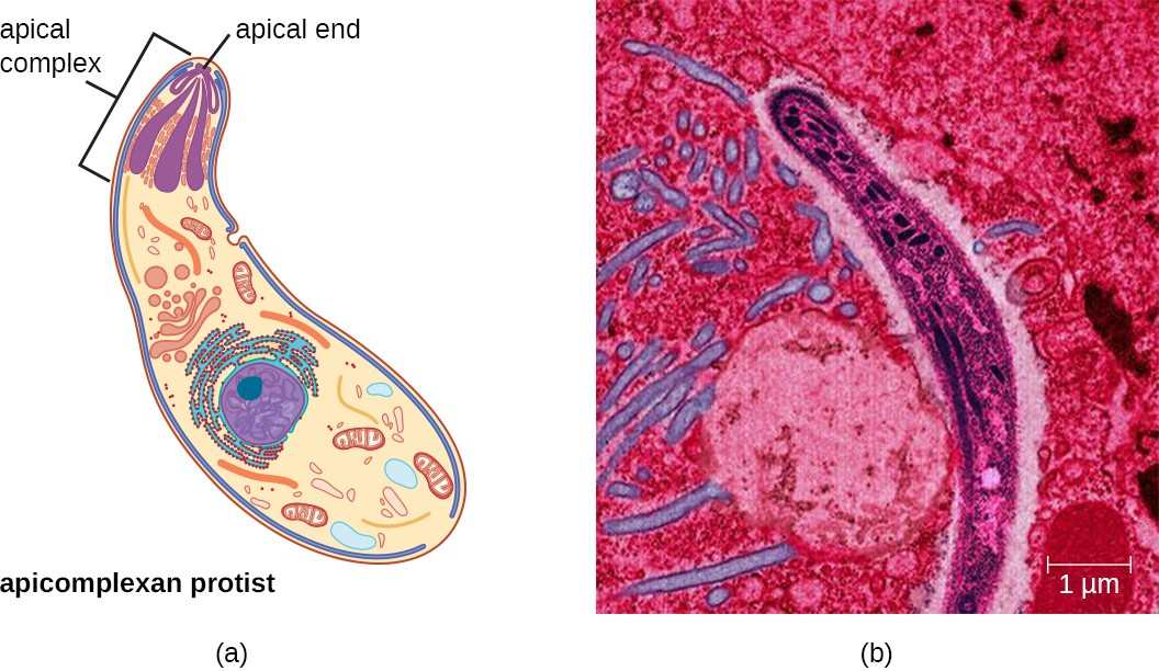 (a) Apicomplexans are parasitic protists. They have a characteristic apical complex that enables them to infect host cells. (b) A colorized electron microscope image of a Plasmodium sporozoite.
