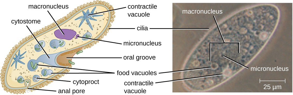 Paramecium has a primitive mouth (called an oral groove) to ingest food, and an anal pore to excrete it. Contractile vacuoles allow the organism to excrete excess water. Cilia enable the organism to move.
