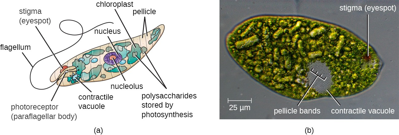(a) This illustration of a Euglena shows the characteristic structures, such as the stigma and flagellum. (b) The pellicle, under the cell membrane, gives the cell its distinctive shape and is visible in this image as delicate parallel striations over the surface of the entire cell (especially visible over the grey contractile vacuole).