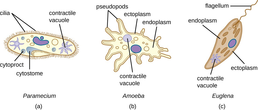 (a) Paramecium spp. have hair-like appendages called cilia for locomotion. (b) Amoeba spp. use lobe- like pseudopodia to anchor the cell to a solid surface and pull forward. (c) Euglena spp. use a whip-like structure called a flagellum to propel the cell.