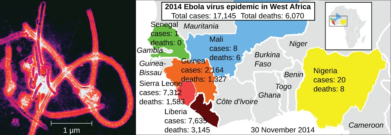 The year 2014 saw the first large-scale outbreak of Ebola virus (electron micrograph, left) in human populations in West Africa (right). Such epidemics are now widely reported and documented, but viral epidemics are sure to have plagued human populations since the origin of our species.