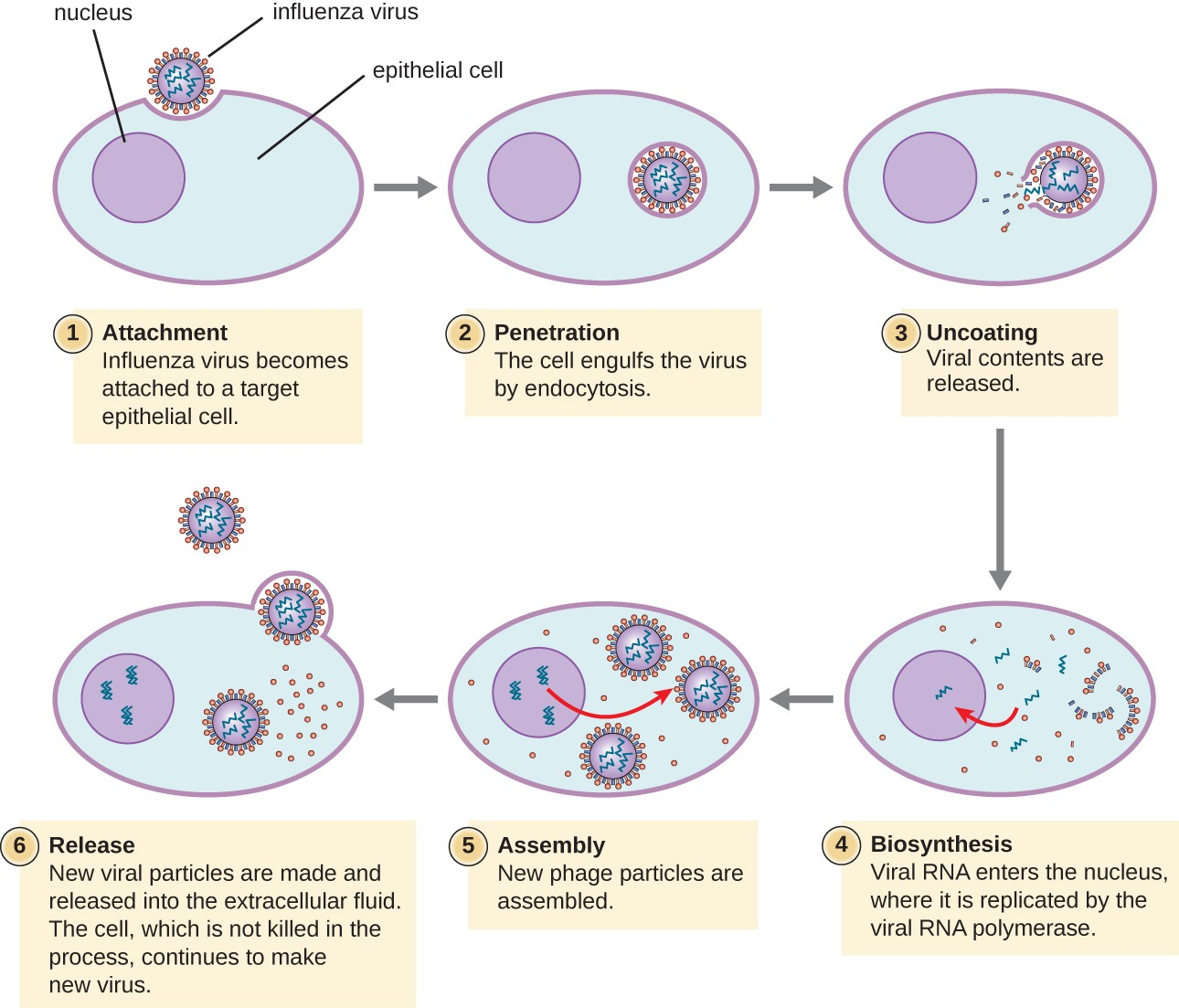 In influenza virus infection, viral glycoproteins attach the virus to a host epithelial cell. As a result, the virus is engulfed. Viral RNA and viral proteins are made and assembled into new virions that are released by budding.