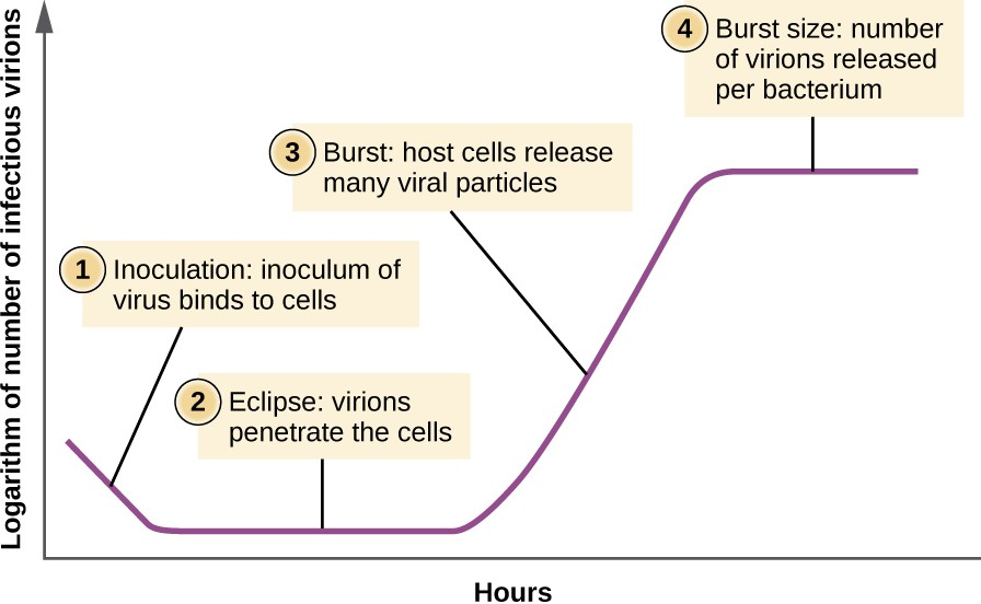 The one-step multiplication curve for a bacteriophage population follows three steps: 1) inoculation, during which the virions attach to host cells; 2) eclipse, during which entry of the viral genome occurs; and 3) burst, when sufficient numbers of new virions are produced and emerge from the host cell. The burst size is the maximum number of virions produced per bacterium.