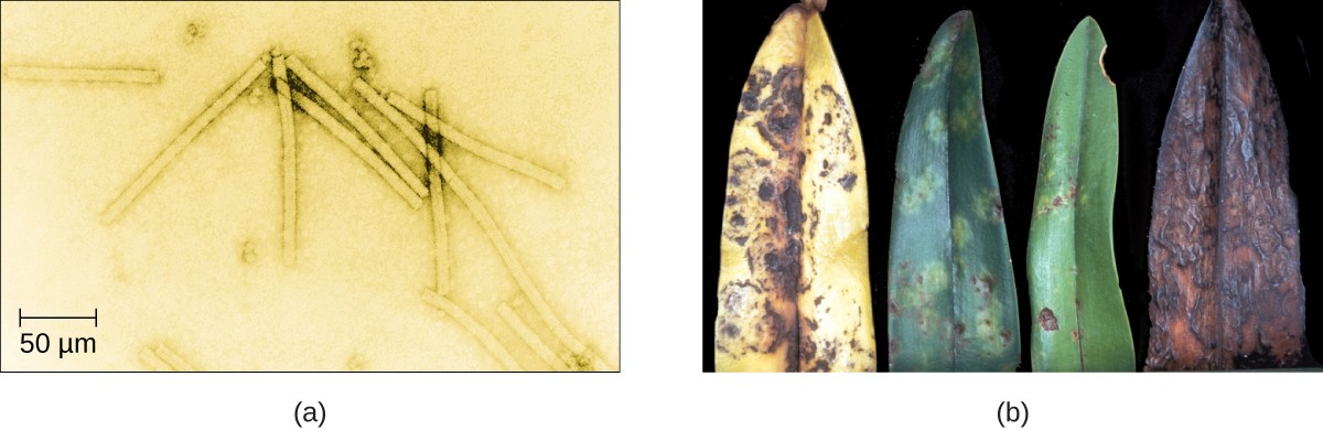 (a) Tobacco mosaic virus (TMV) viewed with transmission electron microscope. (b) Plants infected with tobacco mosaic disease (TMD), caused by TMV.