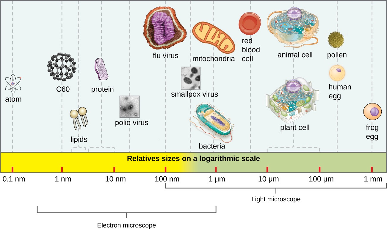 The size of a virus is small relative to the size of most bacterial and eukaryotic cells and their organelles.