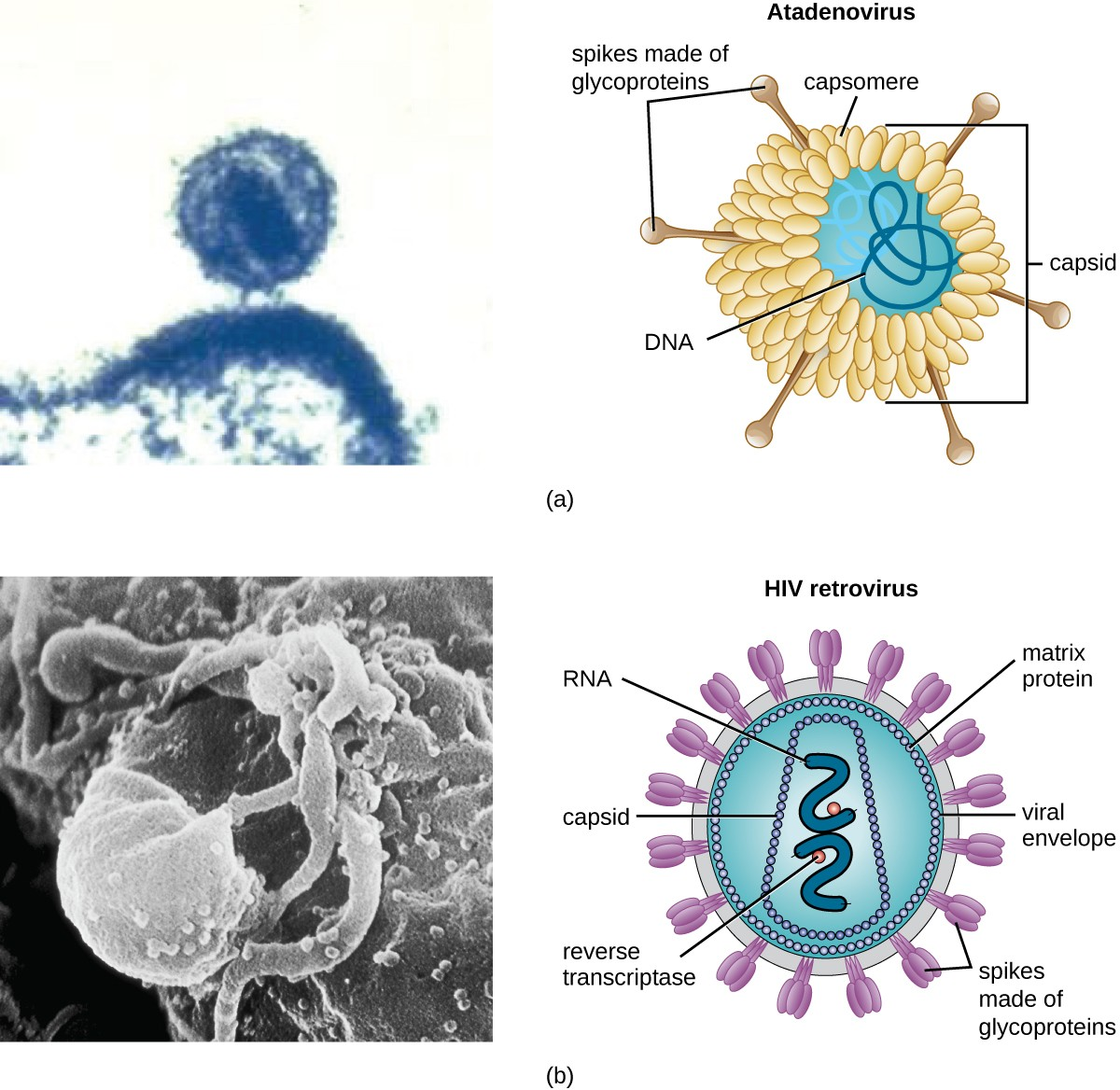 (a) The naked atadenovirus uses spikes made of glycoproteins from its capsid to bind to host cells. (b) The enveloped human immunodeficiency virus uses spikes made of glycoproteins embedded in its envelope to bind to host cells