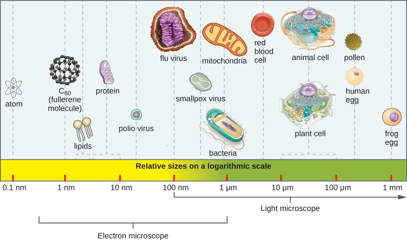 The relative sizes of various microscopic and nonmicroscopic objects. Note that a typical virus measures about 100 nm, 10 times smaller than a typical bacterium (~1 µm), which is at least 10 times smaller than a typical plant or animal cell (~10–100 µm). An object must measure about 100 µm to be visible without a microscope.