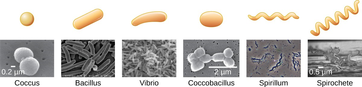 Common bacterial shapes. Note how coccobacillus is a combination of spherical (coccus) and rod- shaped (bacillus).