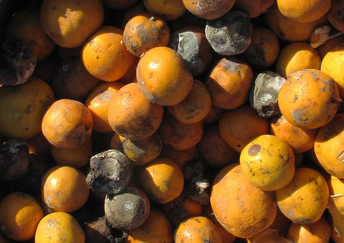 Large colonies of microscopic fungi can often be observed with the naked eye, as seen on the surface of these moldy oranges.